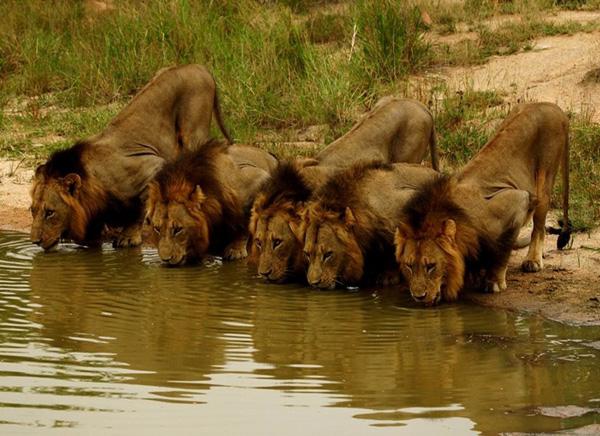 bando-de-leões