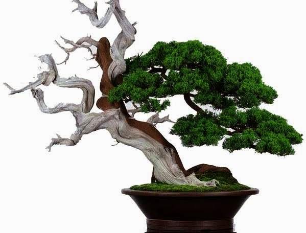cara mengawetkan kayu bonsai