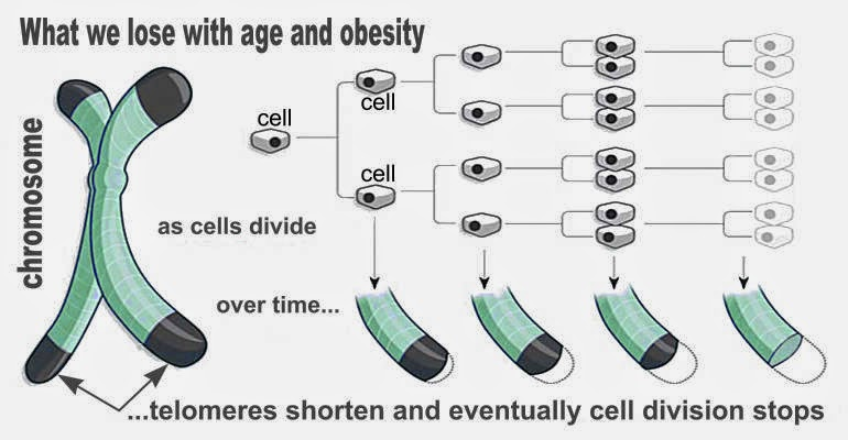 telomeres and cell division
