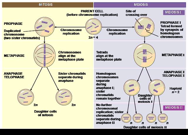 Pengertian dan penjelasan pembelahan mitosis dan meiosis mitosis terjadi pada sel tubuh sel somatik bersifat diploid 2n dan pembelahan berlangsung secara bertahap melalui beberapa fase yaitu profase ccuart Gallery