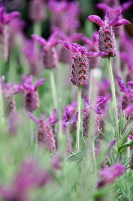 Lavender smell can sell