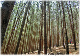 Pine forests in Kodaikanal is highly known as a film shooting location