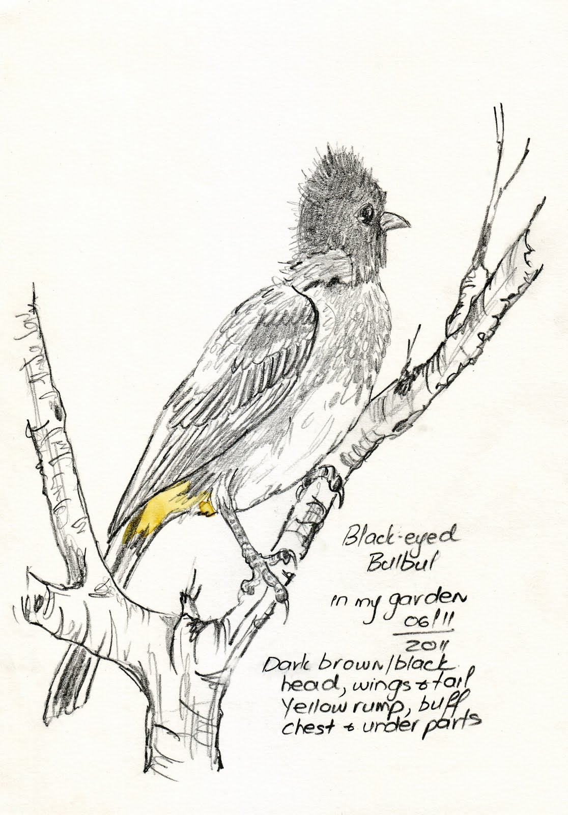 Sketching In Nature Blackeyed Bulbul Sketch - Maree