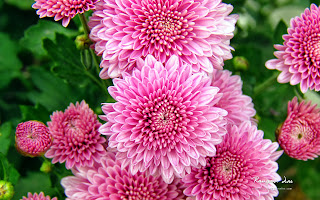 free hd images of chrysanthemum flowers for laptop