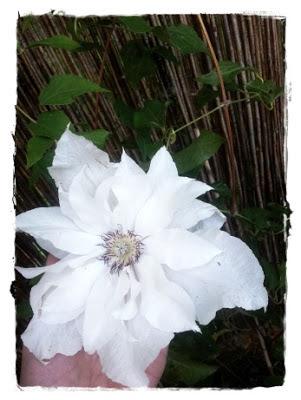 powojnik biały, wielkie kwiaty powojnika