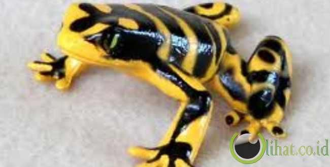 Katak Panah Beracun Lebah Berkepala Kuning