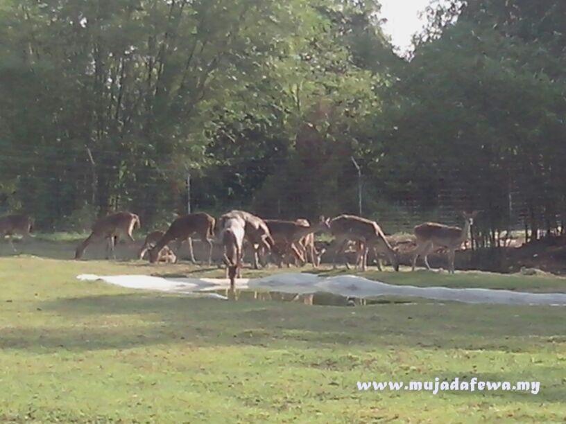 umk, universiti malaysia kelantan bachok, rusa makan rumput