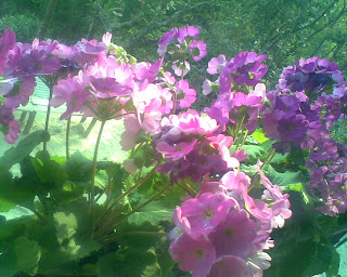 flowers kalimpong