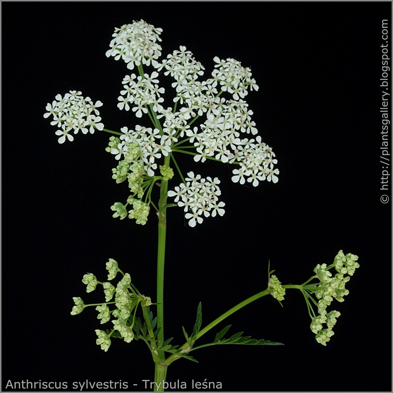 Anthriscus sylvestris inflorescence - Trybula leśna kwiatostan