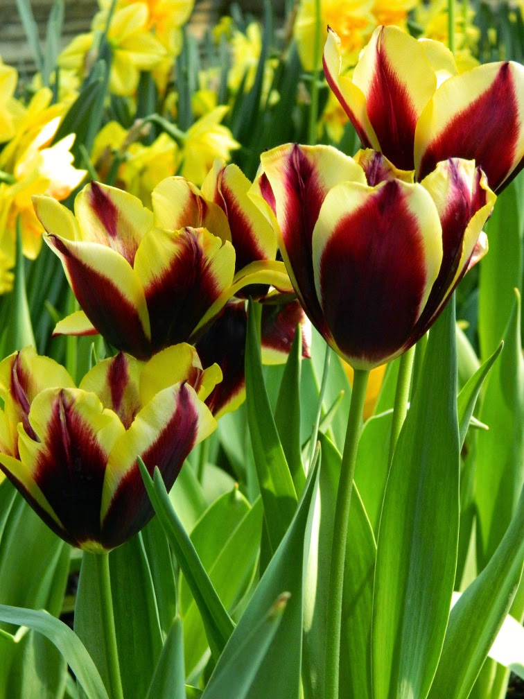 Tulipa Gavota Triumph tulip Centennial Park Conservatory 2015 Spring Flower Show by garden muses-not another Toronto gardening blog