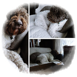 Billy - Lagotto Romagnolo