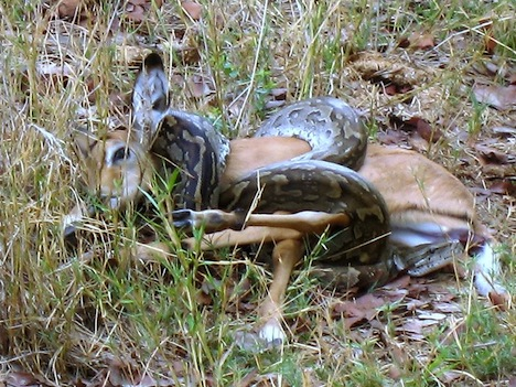 Use Baby Rabbits As Food For Ball Python