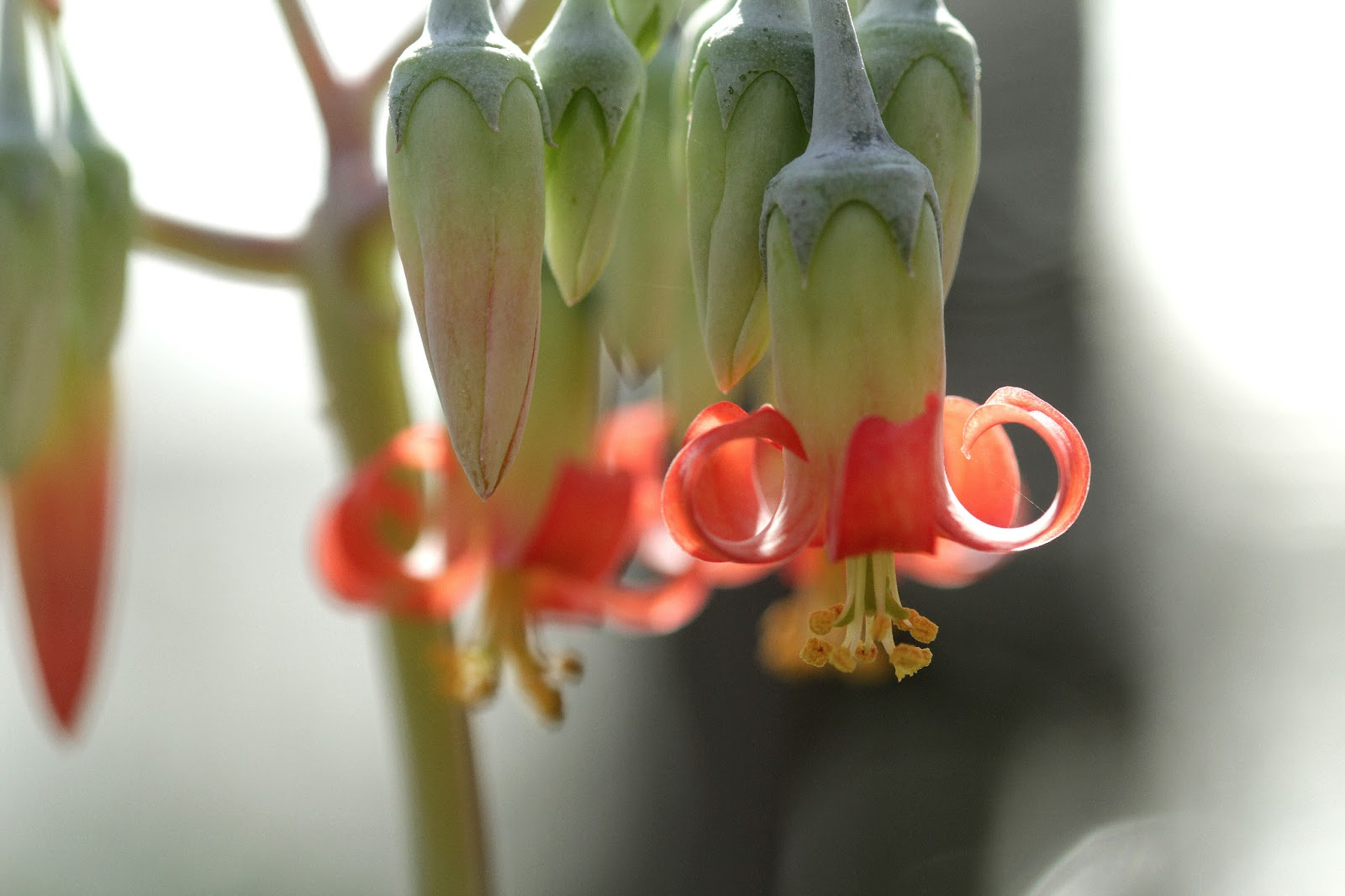 Cotyledon orbiculata var. dinteri - Flowers