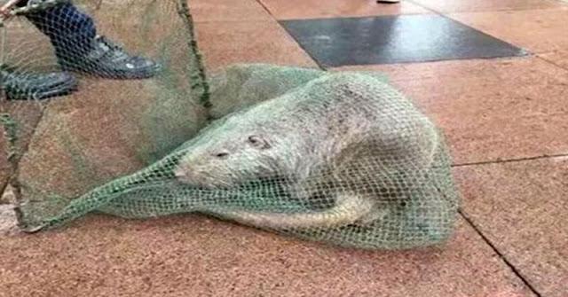 Tikus Raksasa Ditemukan di Universitas China