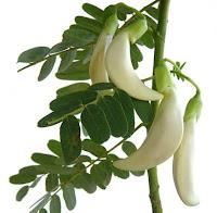 How to cultivate Sesbania grandiflora Bok ful agasti in Indian climate