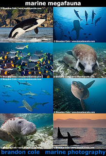 digital pictures made by profession underwater photographer, including photos of killer whales breaching, endangered manatee stock photographs, dramatic shots of schools of silky sharks, shoals of fish from the Galapagos Islands, and more marine life photos and video clips
