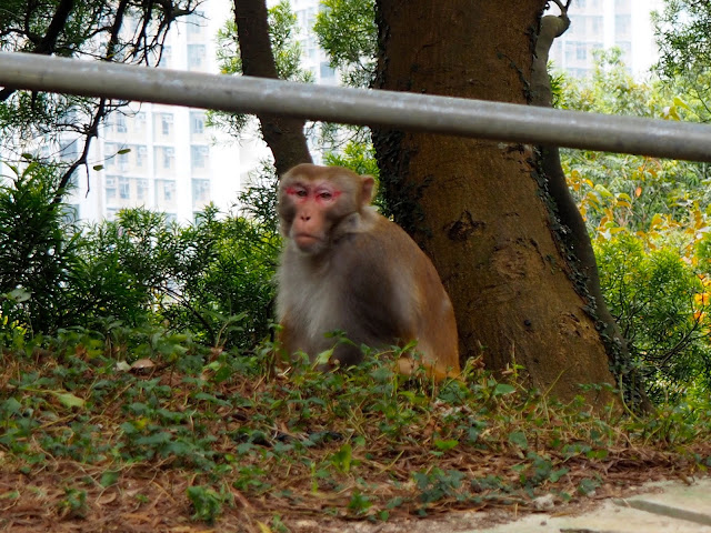 Monkey on the side of Sha Tin Pass Road, on the Lion Rock trail, Hong Kong