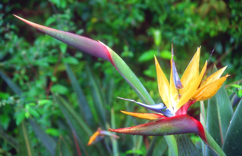 http://4.bp.blogspot.com/-QHRPvj8K_oM/TcG03kWhDWI/AAAAAAAAB48/8te_N5Od3X8/s1600/CPT+Cape+Town+Kirstenbosch+Botanical+Gardens+strelizia+flower+b.jpg