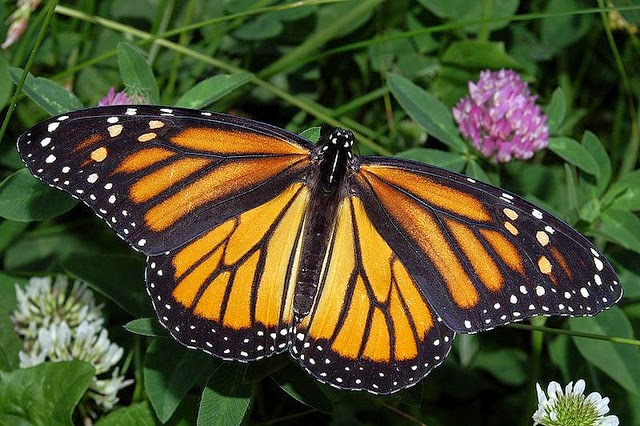Image of a monarch butterfly on clover