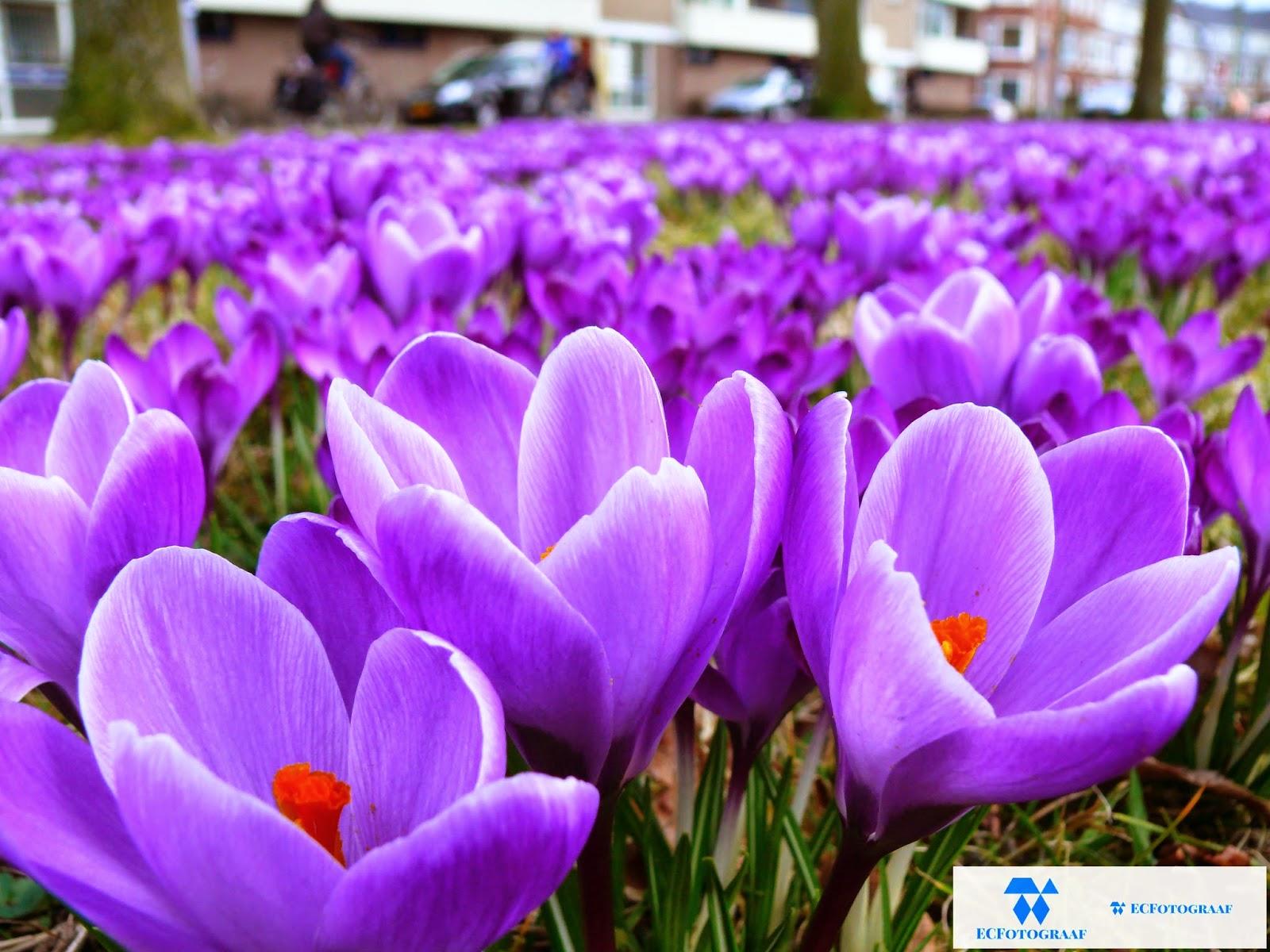 """<img scr=""""Gras-veld-met-paarse-crocussen-ontelbaar-zoveel"""" alt=""""April-lente-bloemenveld-crocussen-paars.jpg""""/>"""