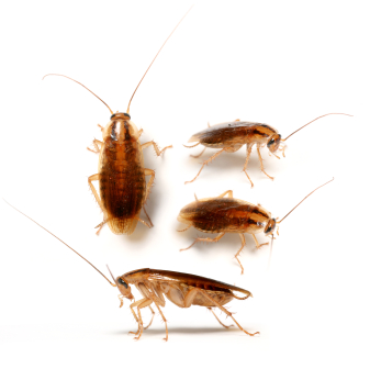 The German cockroach is the species of small cockroaches that are often  seen indoors  Although called German cockroaches  the species originated in  Africa. Broken Arrow Pest Control Archives   EnviroTech