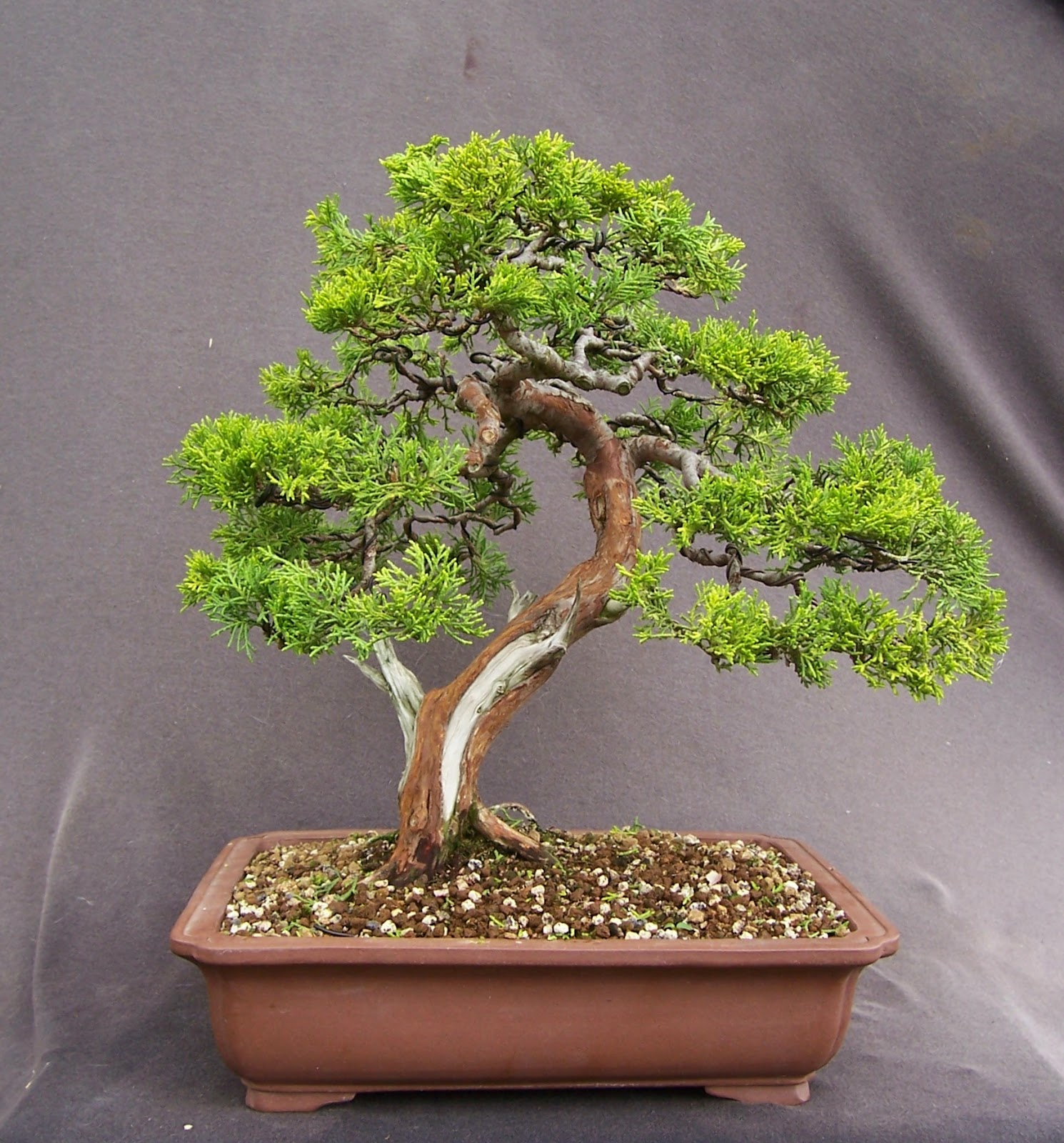 MiKo Bonsai Chinese Juniper Quotold Goldquot