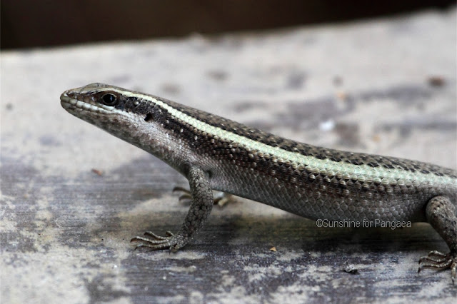Striped Skink (Mabuya striata)
