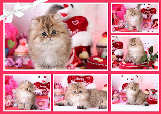 Valentine S Day Kittens Doll Face Persian Kittens