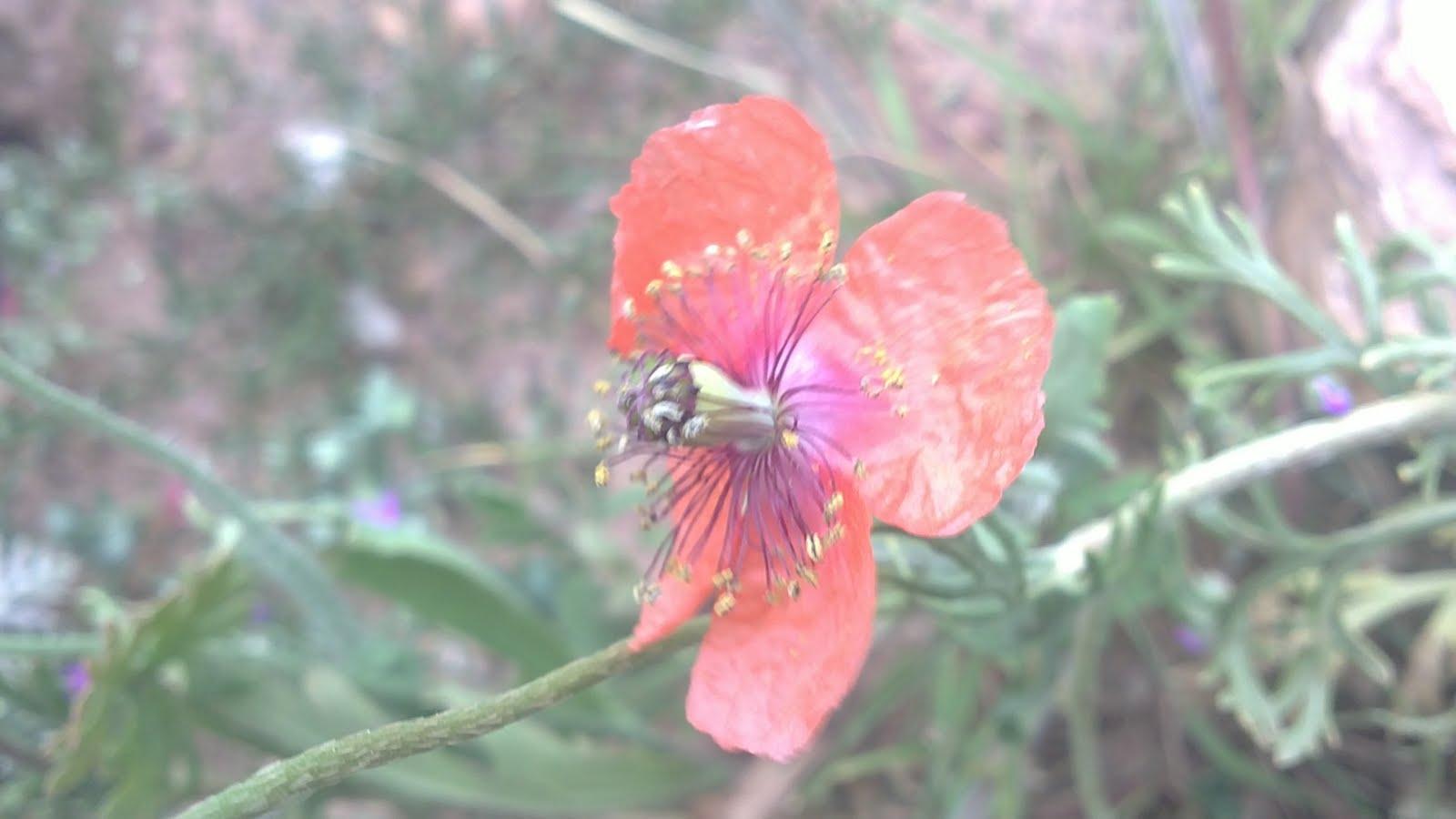 Arroba de los montes la papaver pinnatifidum en arroba de for Anales del jardin botanico de madrid