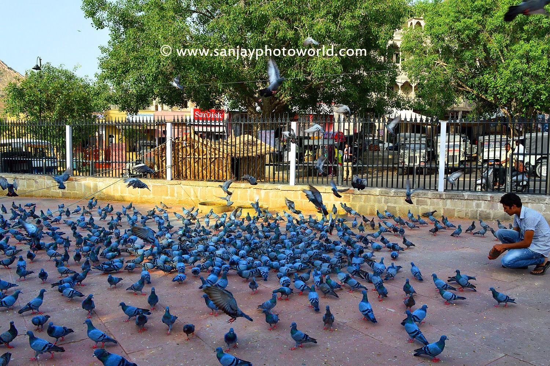 Pigeons seeding