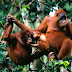 Malaysia tracks orangutans with implants