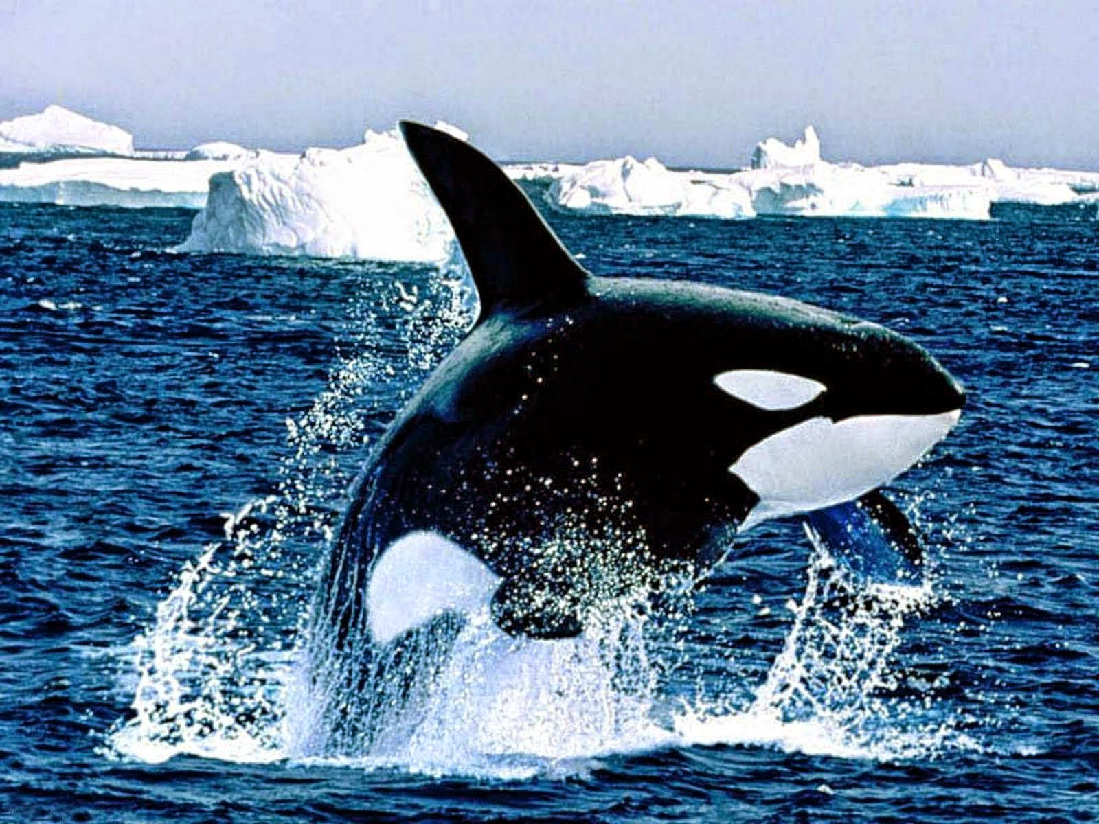 Orca hd wallpapers earth blog orca hd wallpapers altavistaventures Images