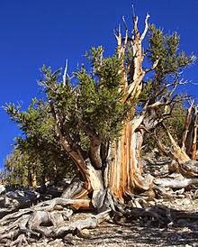 http://www.statesymbolsusa.org/Nevada/tree-bristleconepine.html