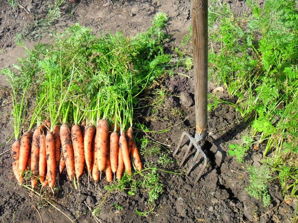 Начинаю копать морковку. Урожай неплохой.