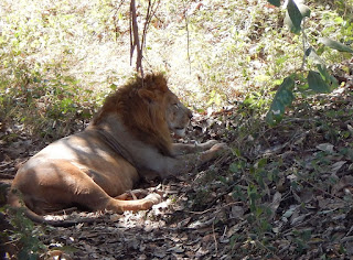 Tyavarekoppa Lion and Tiger Safari