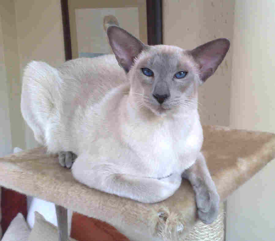 Seal Point And Blue Point Siamese Cats
