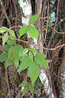 Poison Ivy in Pensacola, FL Yard