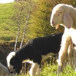 Schafe in der Nähe vom Gasthof Waldbichl in Vöran