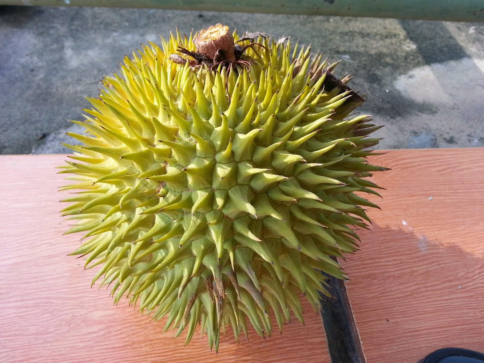 DURIAN KUNING/Durian Merah