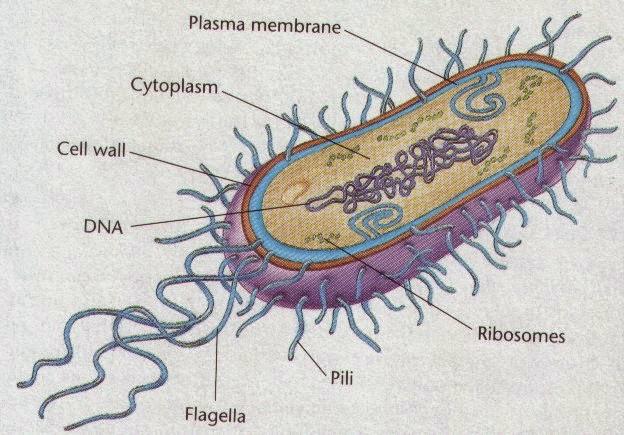 Pengertian, Persamaan dan Perbedaan Archaebacteria dengan Eubacteria