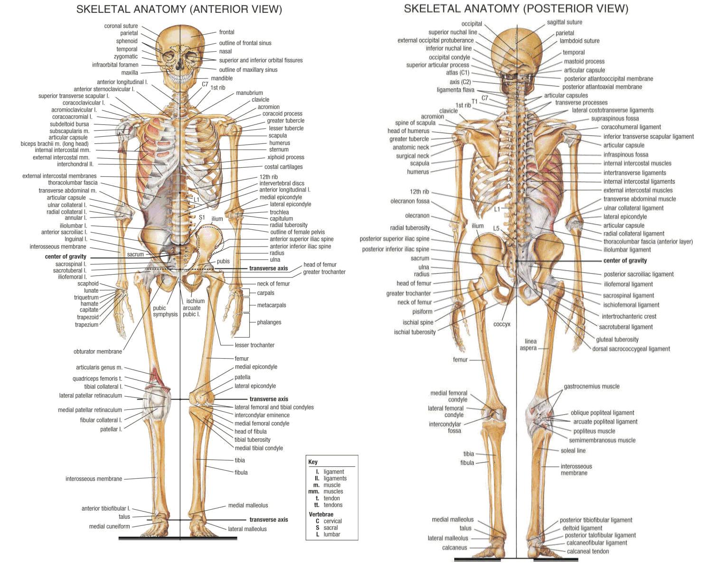 Excelente Sistema Esquelético 206 Huesos Motivo - Anatomía de Las ...