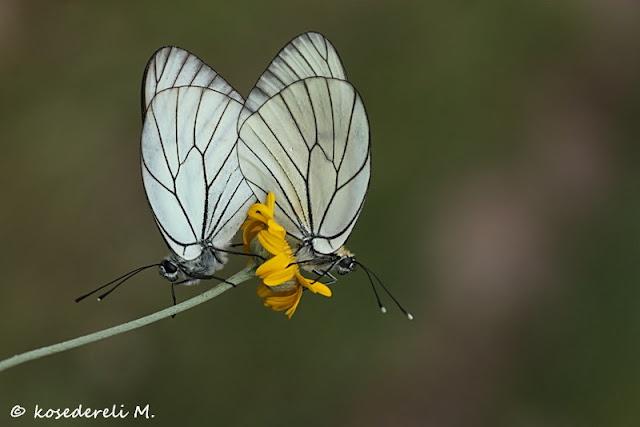alıç kelebekleri