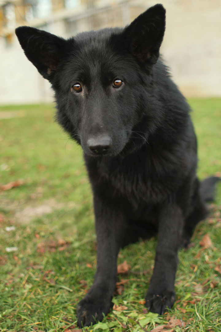 Noir - Black German Shepherd mix