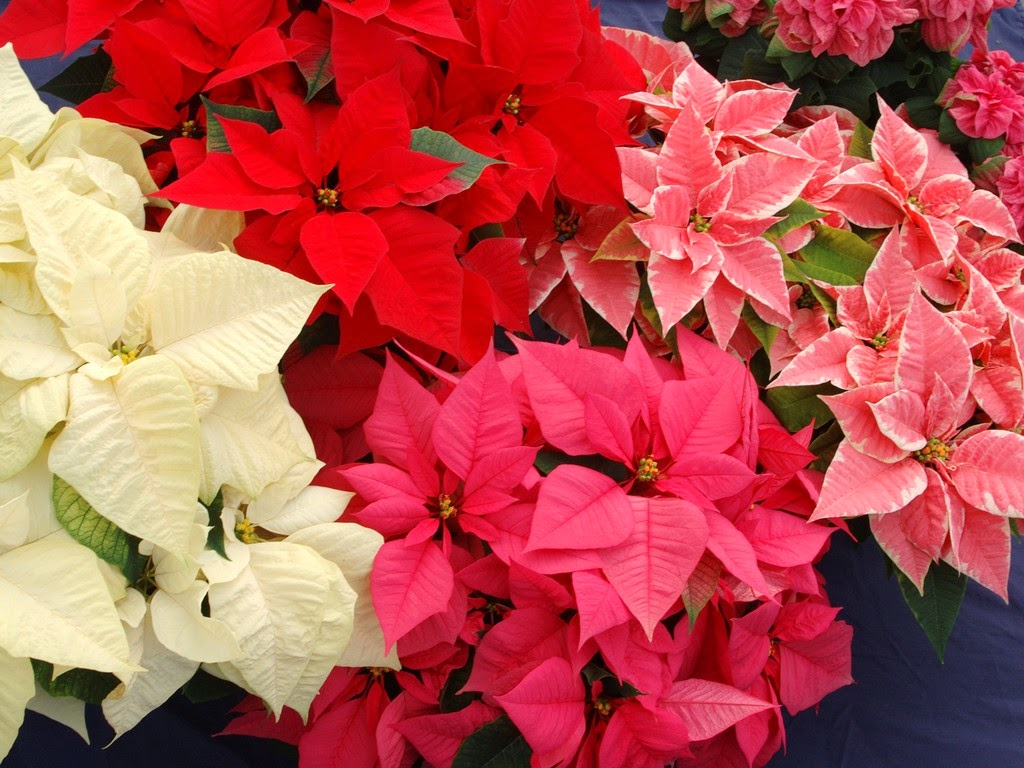 Flower Homes: Poinsettia Flowers