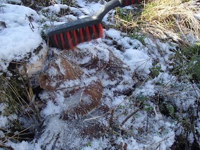 zimowe grzybobranie, grzyby zimowe, grzyby w listopadzie, grzybobranie w listopadzie, boczniak ostrygowaty, Pleurotus ostreatus