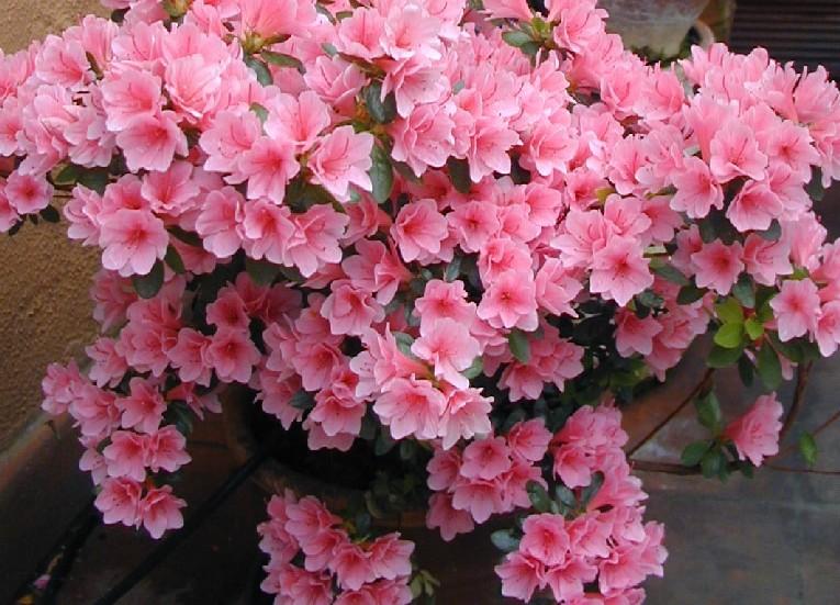 Im genes de flores y plantas azalea - Azalee da esterno ...