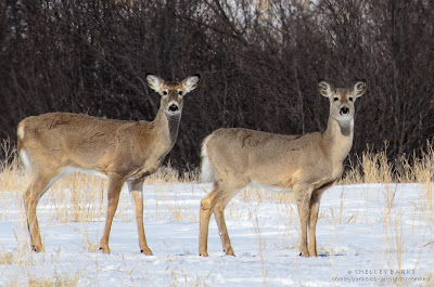 Two deer watch from the valley bottom. Photo © Shelley Banks, all rights reserved.