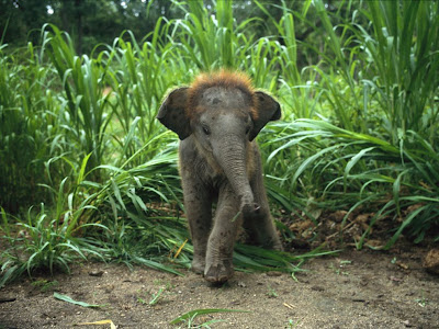 Bebé elefante asiático -  Baby asian elephant
