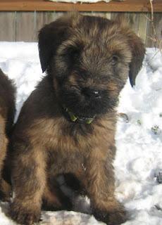 Briard Puppy Picture