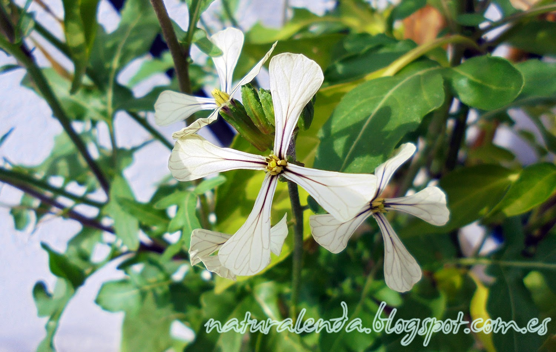 flor de rucula